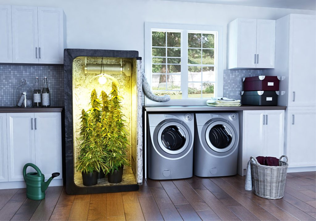 Growing marijuana indoor grow lights